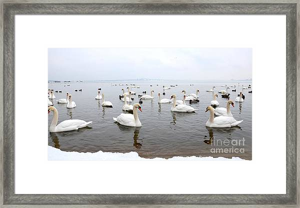 60 Swans A Swimming Framed Print