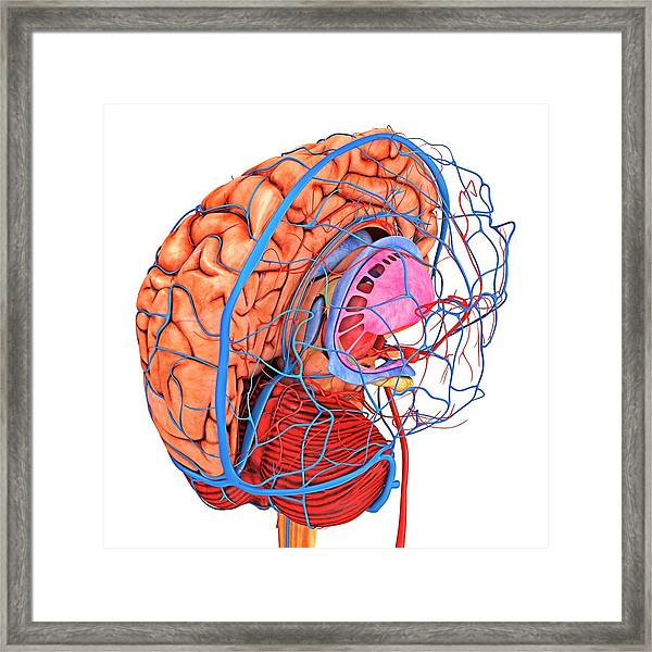 Brain's Blood Supply Framed Print by Alfred Pasieka/science Photo Library