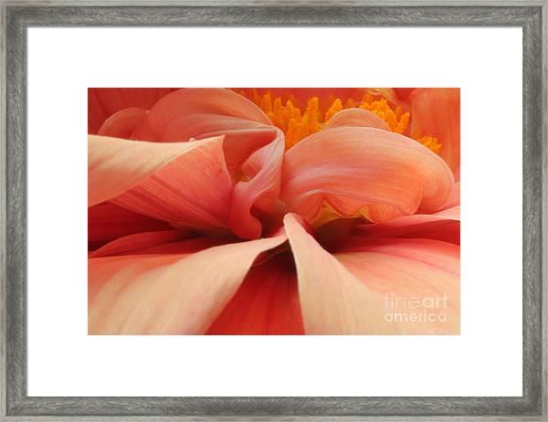 Dahlia Framed Print by Rebeka Dove