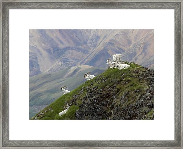 Alaskan Dall Dahl-sheep Image Art  Framed Print