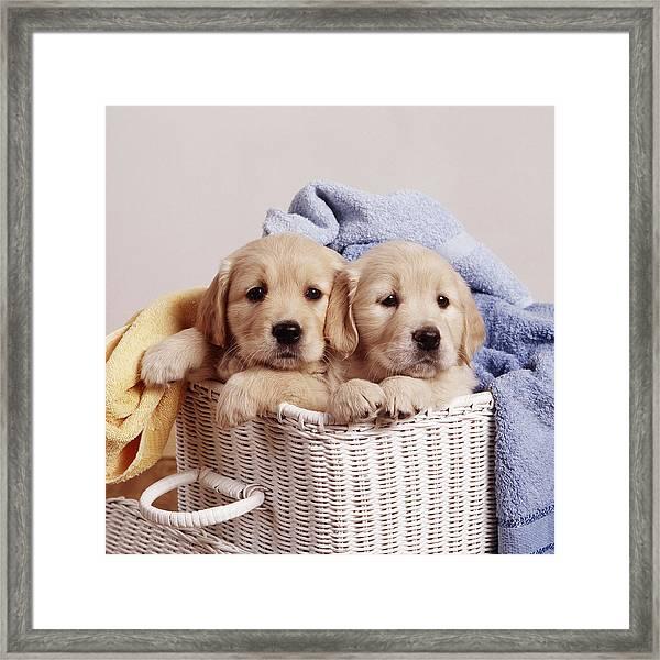 Golden Retriever Puppies Framed Print