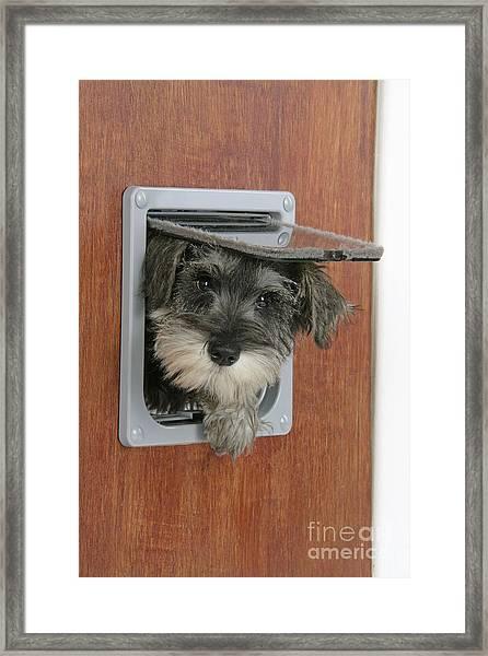 Schnauzer Puppy Dog Framed Print