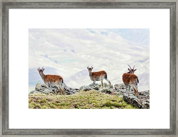 Walia Ibex (capra Walie Framed Print by Martin Zwick