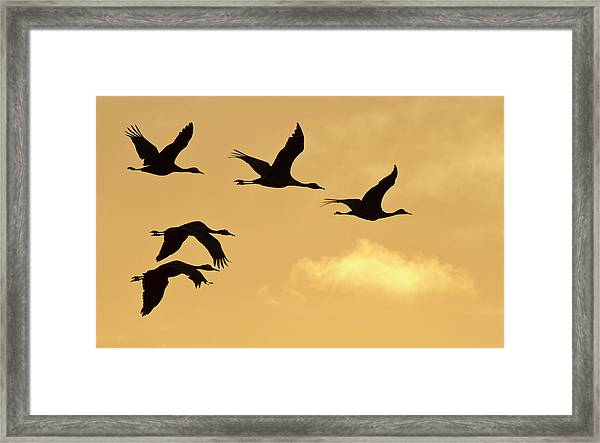 Sandhill Cranes (grus Canadensis Framed Print