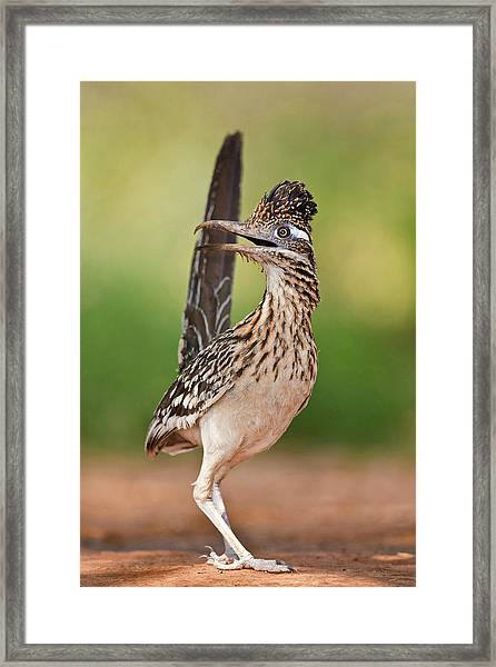 Greater Roadrunner (geococcyx Framed Print by Larry Ditto
