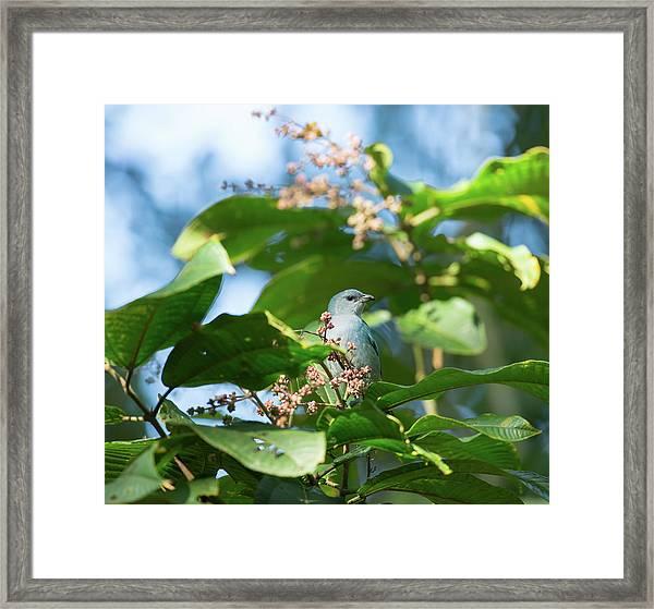 A Azure-shouldered Tanager On A Branch Framed Print