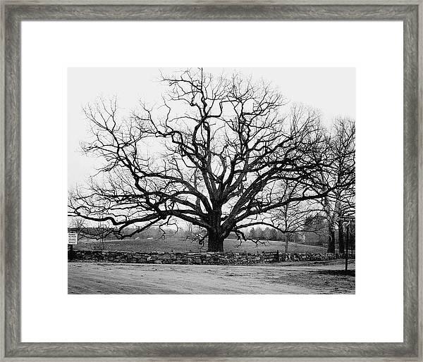 A Bare Oak Tree Framed Print