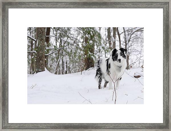 A Black And White Australian Shepherd Framed Print