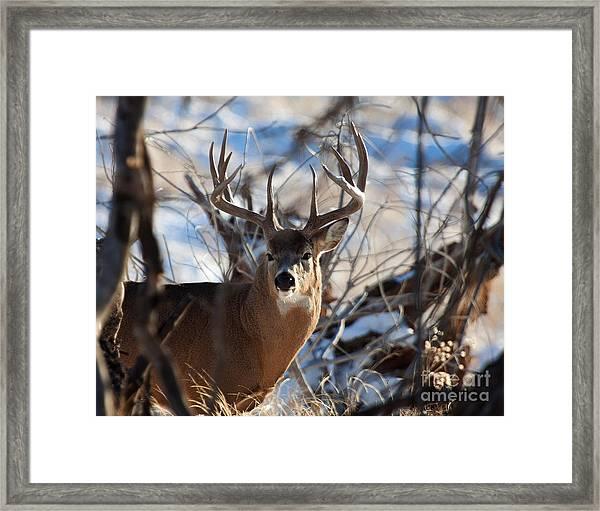 A Buck In The Bush Framed Print