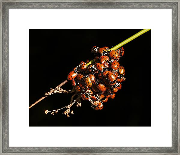 A Bunch Of Ladybugs Framed Print
