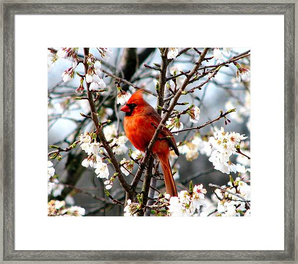 A Cardinal In The Apple Blossoms Framed Print