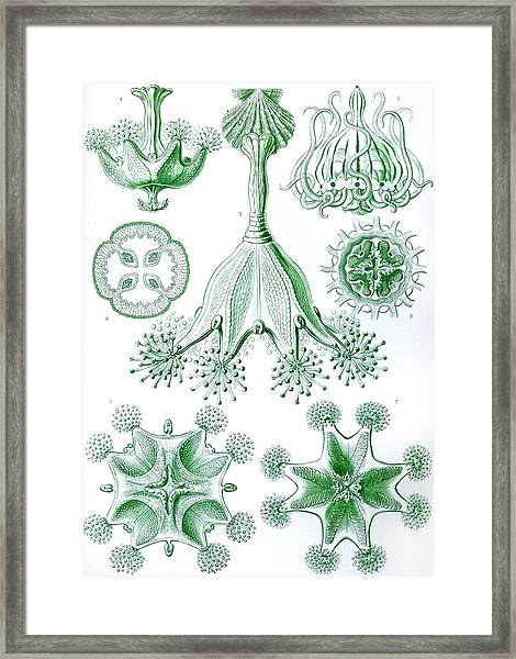 A Collection Of Stauromedusae Framed Print
