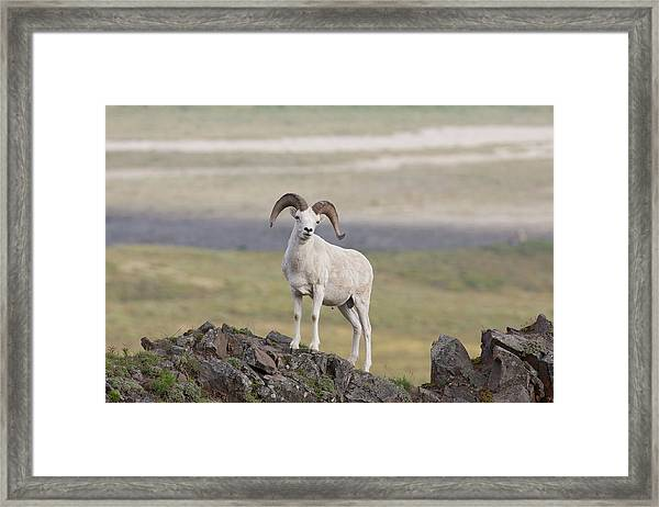 A Dall Sheep Ram Poses On Marmot Rock Framed Print by Hugh Rose