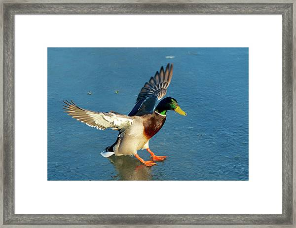 A Drake Lands On An Icy Pond Framed Print by Richard Wright