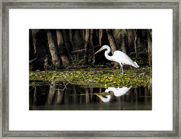 A Great Egret In Tranquility  Framed Print