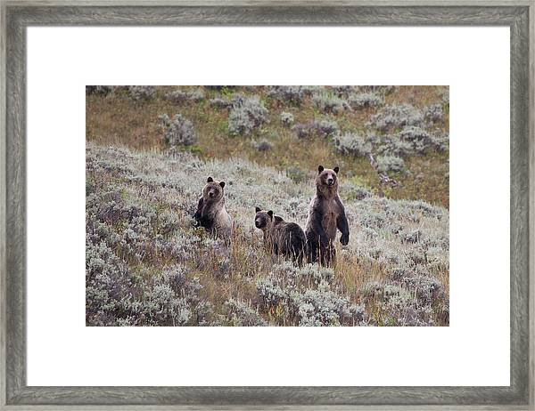 A Grizzly Bear With Its Two Cubs Framed Print