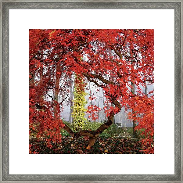 A Japanese Maple Tree Framed Print by Richard Felber