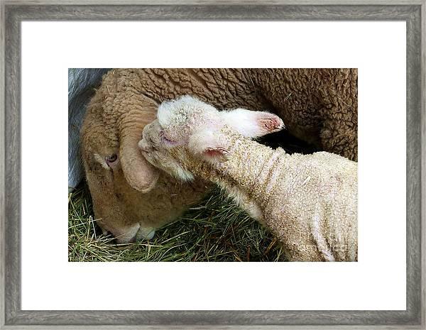 A Kiss For Mom Framed Print