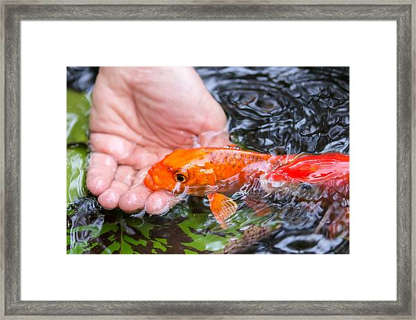 A Koi In The Hand Framed Print