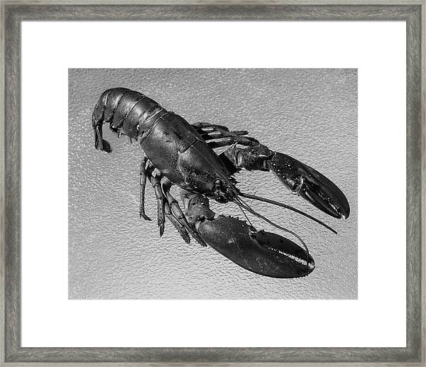 A Lobster From Maine Framed Print by Dana B. Merrill