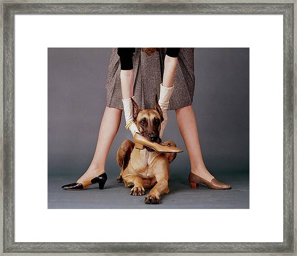 A Model With A Dog Holding A Shoe In Its Mouth Framed Print by John Rawlings