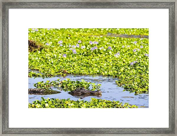 A Mother Alligator In A Flowery Swamp Framed Print