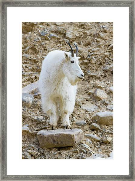 A Mountain Goat On Watch In The Big Framed Print