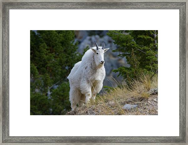 A Mountain Goat Stands On A Grassy Framed Print