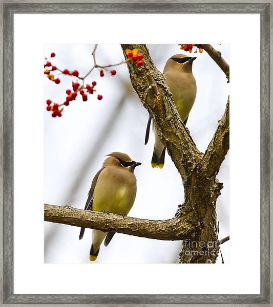 A Pair Of Cedar Waxwings Framed Print