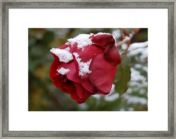 A Passing Unrequited - Rose In Winter Framed Print