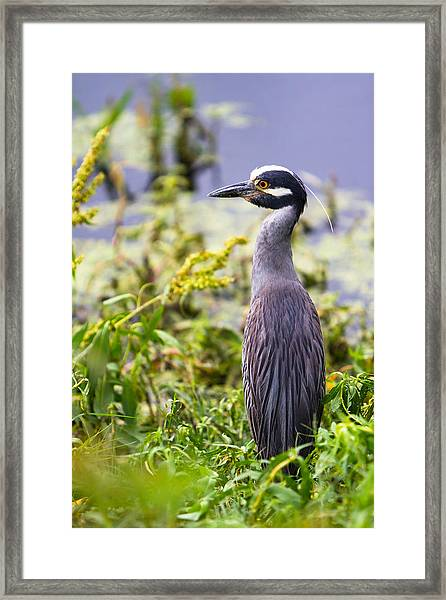 A Portrait Of A Yellow-crowned Night Heron Framed Print