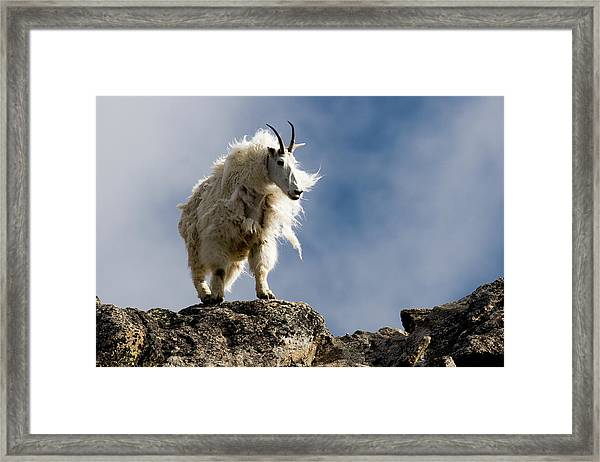 A Proud, Shaggy Mountain Goat Oreamnos Framed Print