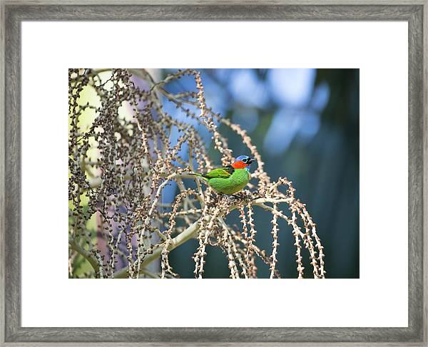 A Red-necked Tanager, Tangara Framed Print
