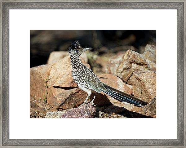 A Road Runner Pauses Momentarily Framed Print by Richard Wright
