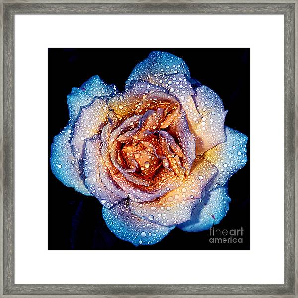 A Rose By Any Other Colour Framed Print