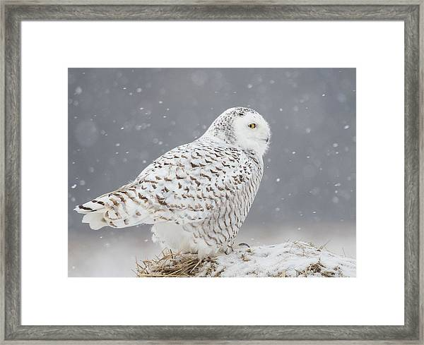 A Side Portrait Of Snowy Owl Framed Print by Ming H Yao