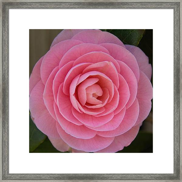 A Soft Blush Framed Print