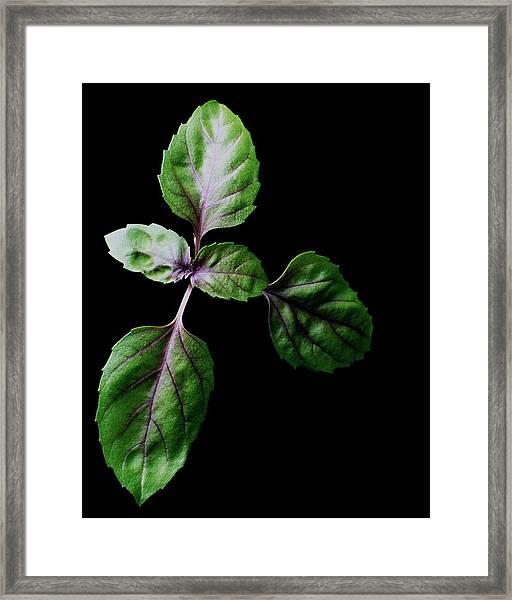 A Sprig Of Basil Framed Print