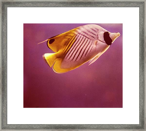 A Striped Butterfly Fish Framed Print