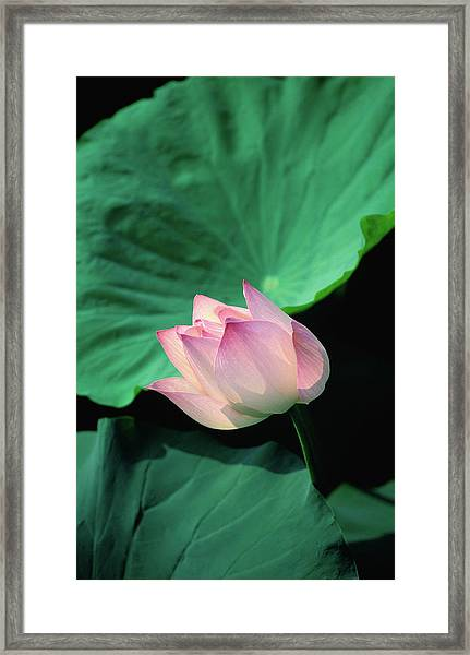 A Symbol Of Beauty And Purity, The Framed Print by Anders Blomqvist