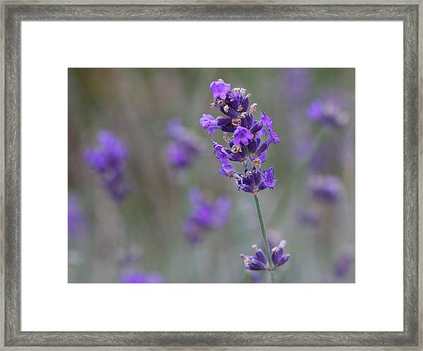 A Touch Of Lavender Framed Print