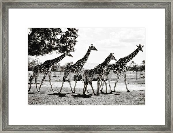 A Tower Of Giraffe - Black And White Framed Print