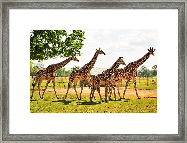A Tower Of Giraffe Framed Print