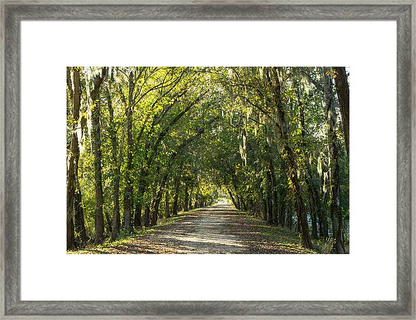 A Tunnel Of Trees Along Alligator Swamp Framed Print