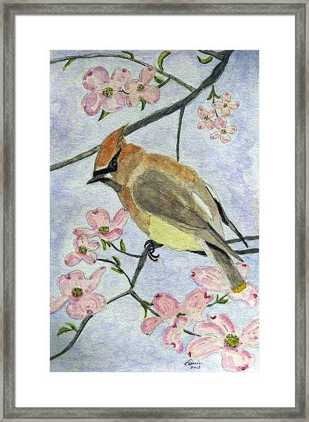 A Waxwing In The Dogwood Framed Print