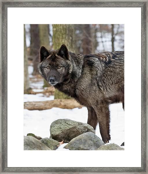 A Wolf's Intense Focus Framed Print