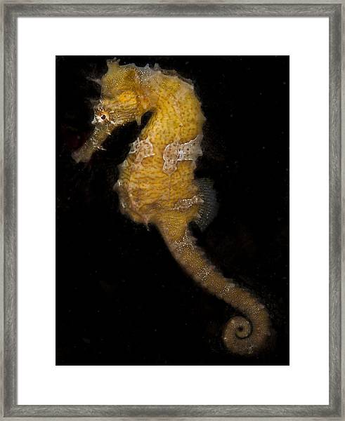 A Yellow Seahorse Framed Print