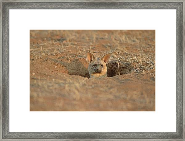 Aardwolf At Den. Damaraland District, Namibia Framed Print by Daryl Balfour