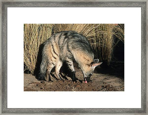 Aardwolf (proteles Cristatus) Hunting, Side View, Africa Framed Print by Martin Harvey