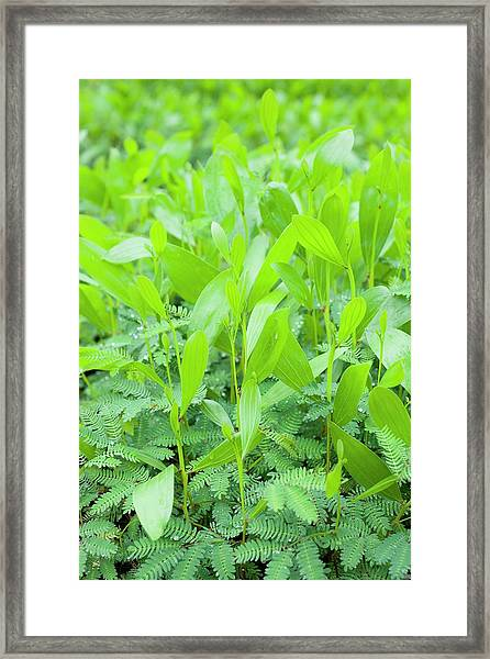 Acacia Seedlings Framed Print by Scubazoo/science Photo Library